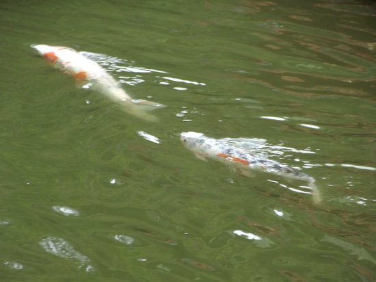 Byodo-In Temple: koi