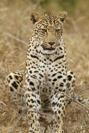 Inyati Game Lodge, Sabi Sand Reserve: Female leopard