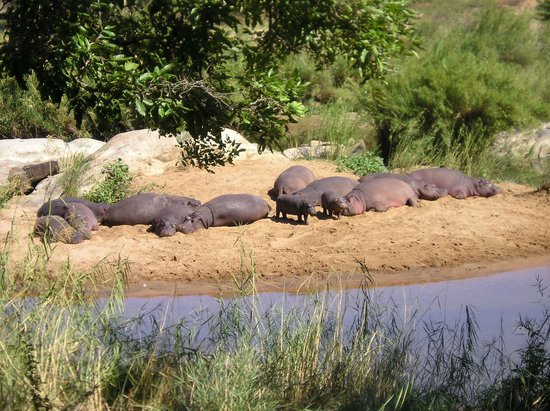 Hippo Pools Resort: Hippos on Island