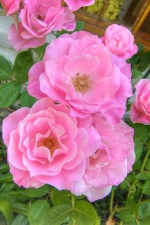 Grace Guest House : Beautiful roses & prolific bird life