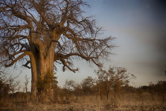 Ngoma Safari Lodge: Giant Baobab