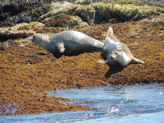 Monhegan Boat Line: lazy seals