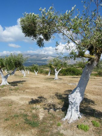 Hotel Summery: Olive trees!!