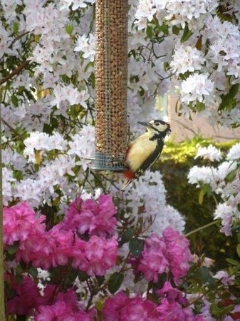 Ard Daraich: Woodpecker outside the kitchen window