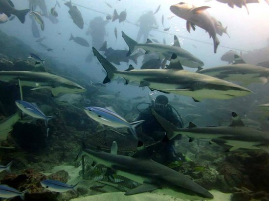 Yanuca Island, Fiyi: Divers and reef sharks on our shark dive