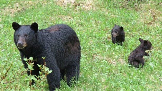 Walks & Talks Jasper : Theses are this years cubs so so cute in Jasper we gave them space!