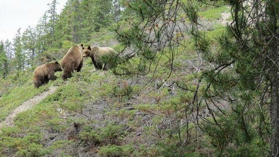 Walks & Talks Jasper : Grizzly bear and cubs on trail 7 in Jasper. We scared her off no problem