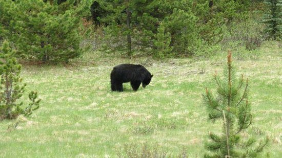 Walks & Talks Jasper: Adult bear on Maligne road in Jasper National Park.