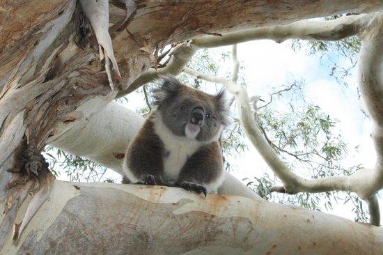 Bimbi Park - Camping Under Koalas: Koala on the tree near Bimbi park