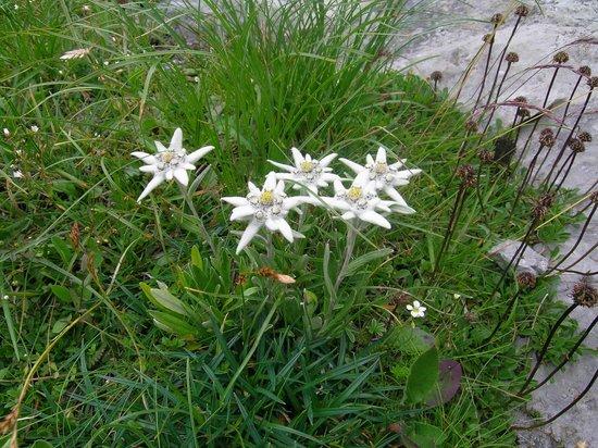 Grosse Scheidegg: Edelweiss
