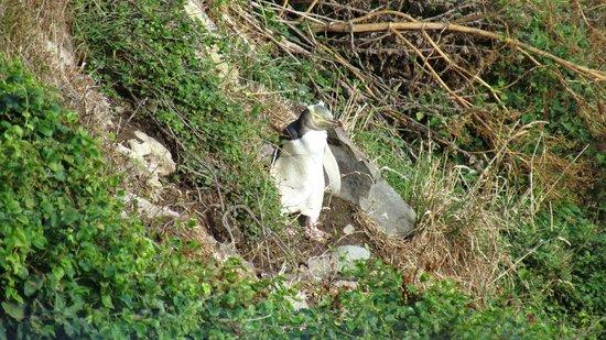 Roaring Bay: Penguin walking to its hide
