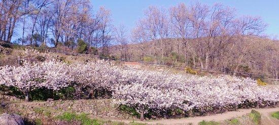Casa Rural del Corral : Cerezos en flor