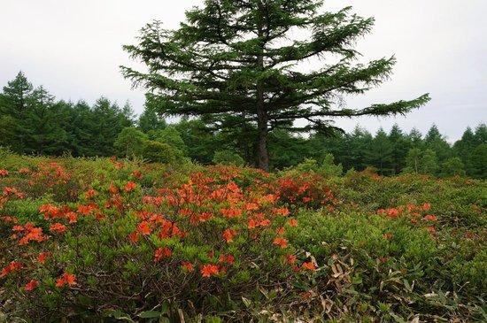 Yunomaru Ski Area: イワカガミも咲いていました
