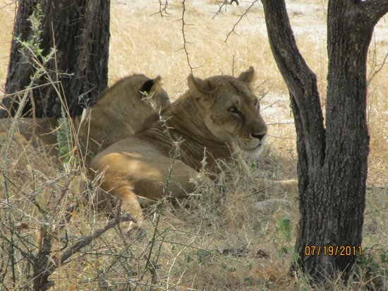Selous Game Reserve: amazing female lion and cubs