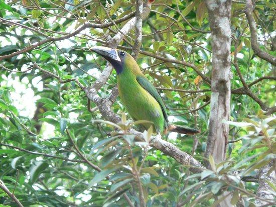 Monteverde Cloud Forest Lodge: emerald toucanette