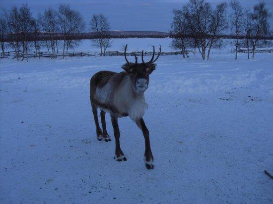 Sámi Siida - Márkanbáiki: Reindeer