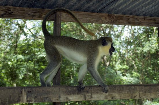 Wadadli Animal Nature Park : Green Monkey