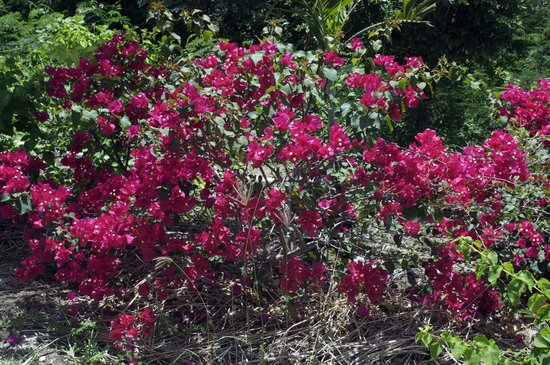 Wadadli Animal Nature Park : Bougainvillea Plant