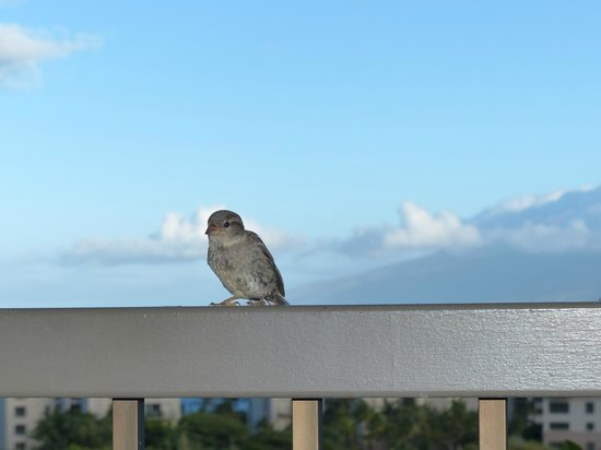 The Kapalua Villas, Maui: Daily visitors for breakfast!