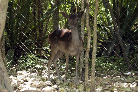 Wadadli Animal Nature Park : Native Fallow Deer