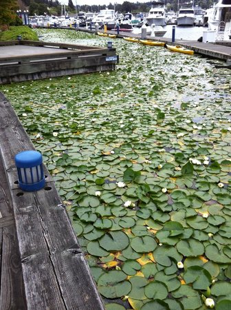 Woodmark Hotel & Still Spa : Lily Pads In Marina Behind Hotel