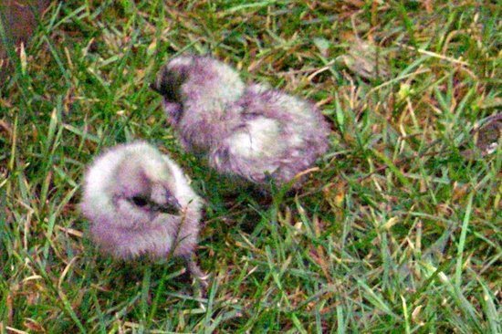 Ionia, Αϊόβα: Feed chickens treats and gather eggs from our flock of silkie chickens.