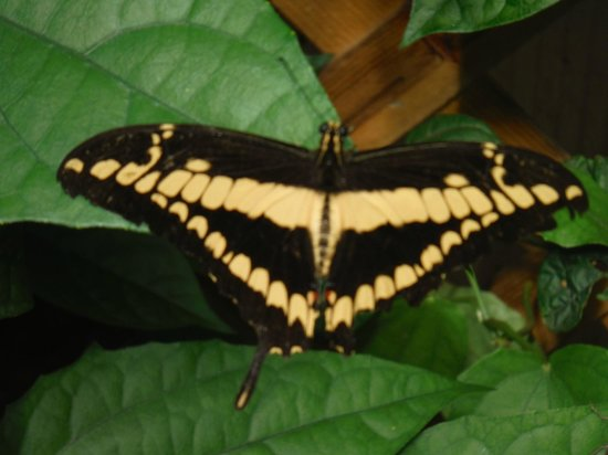 The Original Mackinac Island Butterfly House & Insect World: Live butterfly in greenhouse
