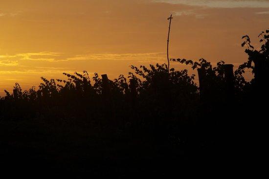 Torraccia di Chiusi: The grape vines at sunrise