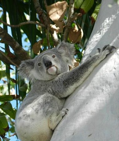 Oskar's Rainforest Retreat Bed and Breakfast: Our sometimes resident koala Billy paid us a visit last weekend