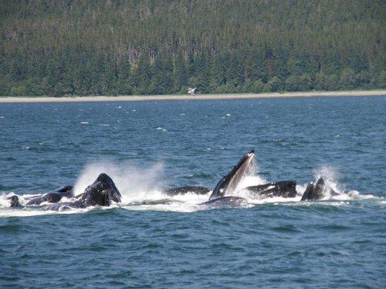 Humpback Whales Bubble Net Feeding Picture Of Alaska