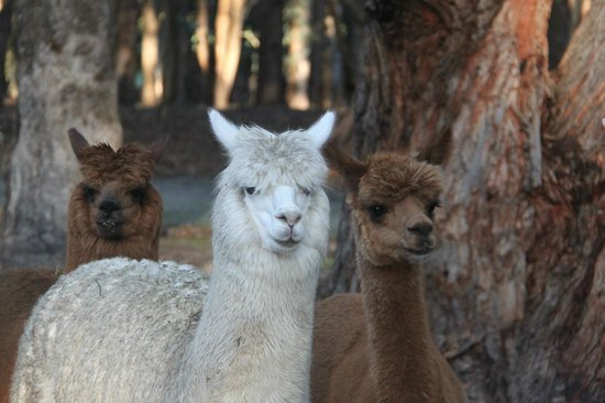 Margaret River Hideaway & Farmstay: Farm animals