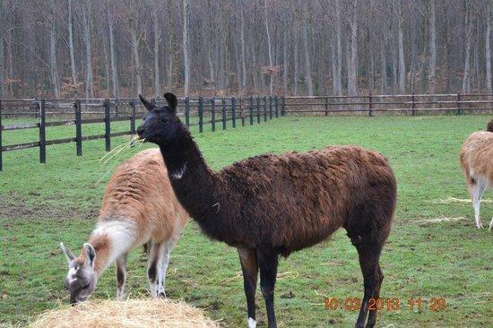 Tostes, Francia: Les Lamas