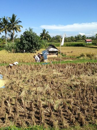 Hibiscus Cottages: harvesting rice