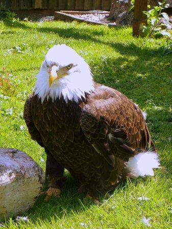 Raptor Foundation: eagle