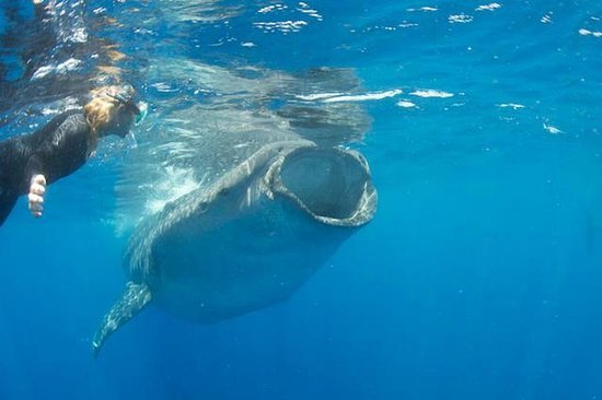 Holbox Whale Shark Tours: Kim DeBruycker with a whale shark, June 21, 2013