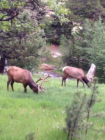 elk at Bugle Pointe
