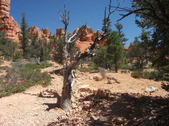 Dixie National Forest: Stoned tree in Red Canyon