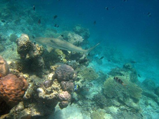 Kuramathi Island Resort: Traumhafte Unterwasserwelt - Schwarzspitzenriffhai
