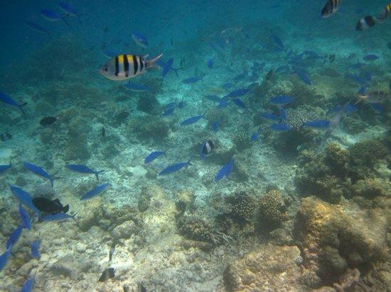 คุรามาธิ ไอแลนด์ รีสอร์ท: Traumhafte Unterwasserwelt - Blauer Fischschwarm