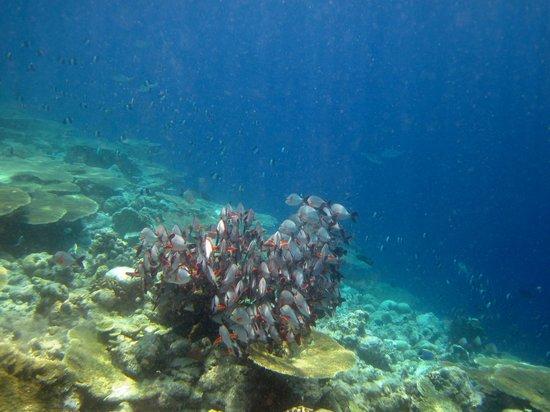Kuramathi Island Resort: Traumhafte Unterwasserwelt - Fischschwarm