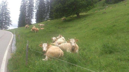 Restaurant Eschihalten - des vaches à 500 m de distance