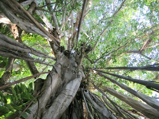 Kuramathi Island Resort: Einer der alten Banyan-trees