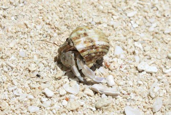 Kuramathi Island Resort: Einsiedlerkrebs