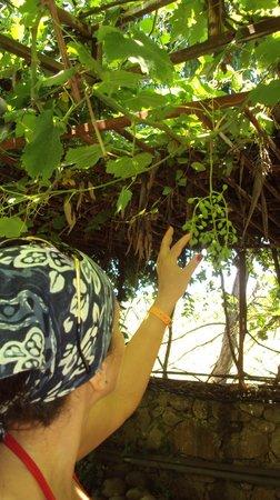 Club Gunes Garden: виноград