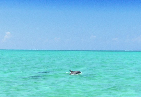 Small Hope Bay Lodge : A family of dolphins welcoming us back!
