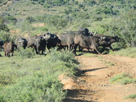 Ibamba Private Game Reserve: buffalo on our game drive