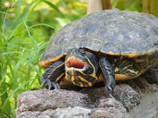 Hotel Villa Schuler: Gähnende Schildkröte im Teich der Villa Schuler
