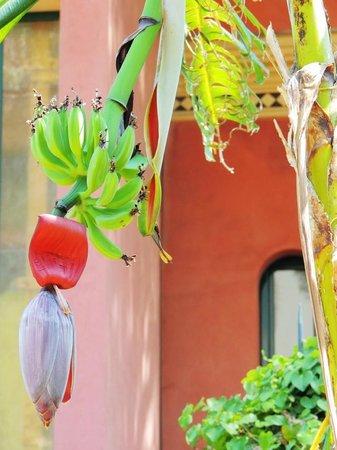 Hotel Villa Schuler: Bananenstaude im Garten der Villa Schuler