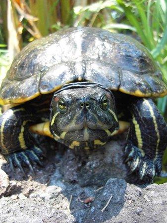 Hotel Villa Schuler: Schildkröte im Teich der Villa Schuler