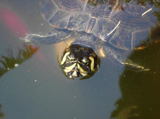 Hotel Villa Schuler: Schwimmende Schildkröte im Teich der Villa Schuler